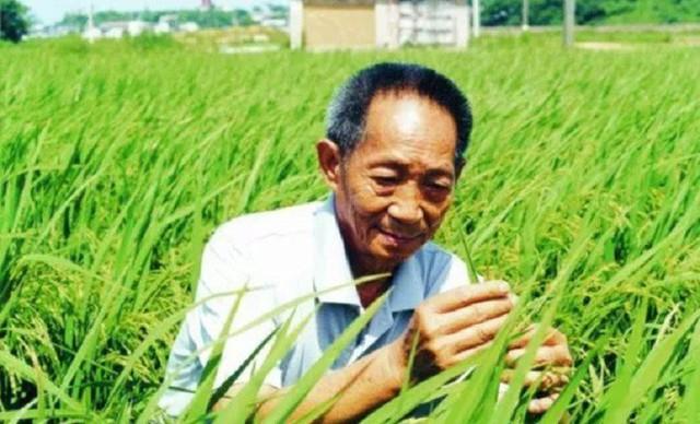 Các nhà khoa học canh tác và thu hoạch thành công lúa chịu mặn trên sa mạc Dubai - Ảnh 1.