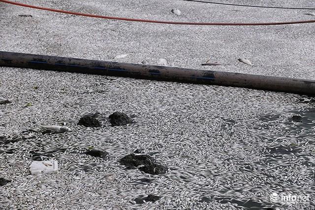 Thời tiết thay đổi, cá chết nổi trắng nhiều góc của Hồ Tây - Ảnh 2.