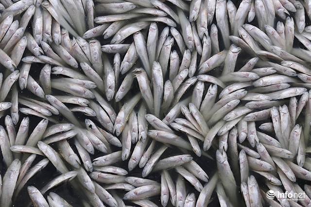 Thời tiết thay đổi, cá chết nổi trắng nhiều góc của Hồ Tây - Ảnh 5.