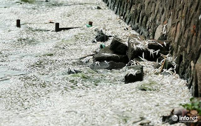 Thời tiết thay đổi, cá chết nổi trắng nhiều góc của Hồ Tây - Ảnh 6.