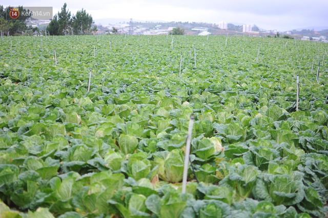 Nông dân khốn khổ vì nông sản Trung Quốc nhái hàng Đà Lạt: 3 tháng trồng khoai không bán được đồng nào, chỉ biết khóc... - Ảnh 4.