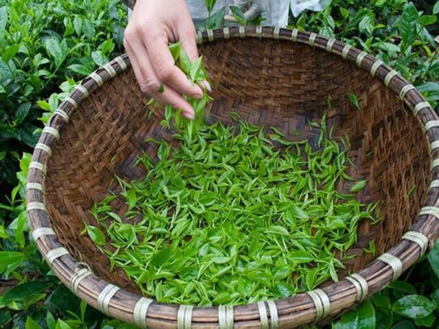 Kiếm bộn tiền từ loại trà đắt đỏ: 4 triệu đồng/kg - Ảnh 1.