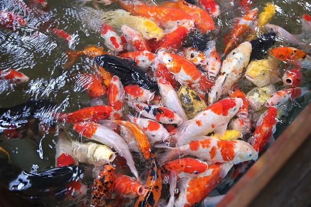 Trải nghiệm uống cà phê giữa hồ cá Koi tiền tỉ ở Sài Gòn - Ảnh 3.
