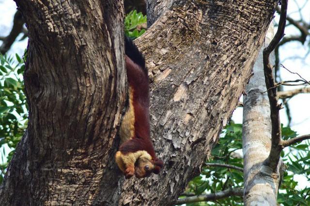 Ghé khu rừng Ấn Độ thăm loài sóc sặc sỡ nhất hành tinh: lòe loẹt như tranh vẽ - Ảnh 6.