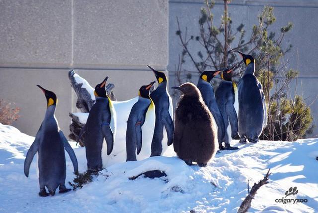 Ở Canada, trời lạnh đến mức sở thú nơi đây phải đưa chim cánh cụt vào trong nhà tránh rét - Ảnh 1.