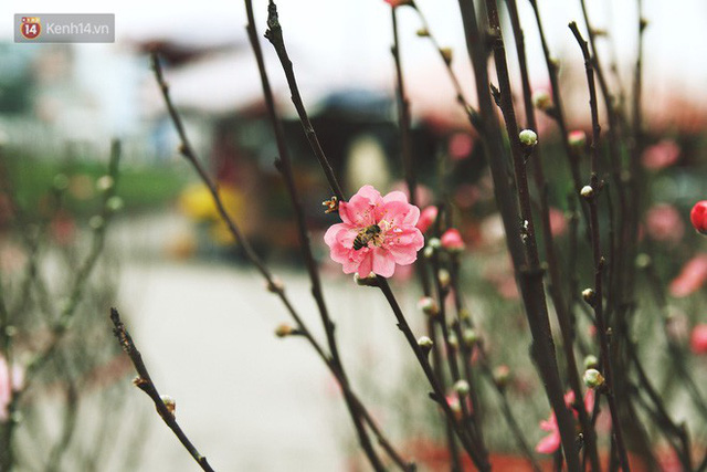 Người dân làng đào Nhật Tân: Từ giờ đến Tết mà rét thế này thì đào không nở hoa kịp mất! - Ảnh 10.