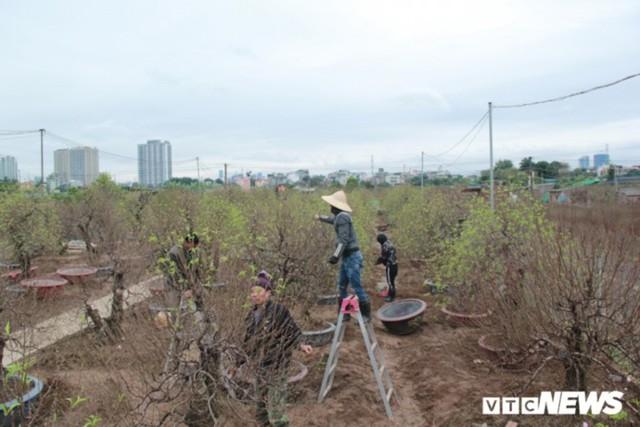 Giá Đào Nhật Tân sẽ tăng dịp Tết Nguyên đán do thời tiết rét muộn - Ảnh 2.