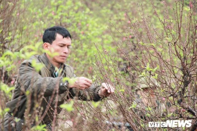 Giá Đào Nhật Tân sẽ tăng dịp Tết Nguyên đán do thời tiết rét muộn - Ảnh 3.