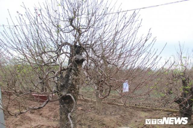 Giá Đào Nhật Tân sẽ tăng dịp Tết Nguyên đán do thời tiết rét muộn - Ảnh 4.