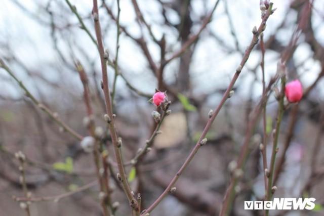 Giá Đào Nhật Tân sẽ tăng dịp Tết Nguyên đán do thời tiết rét muộn - Ảnh 6.
