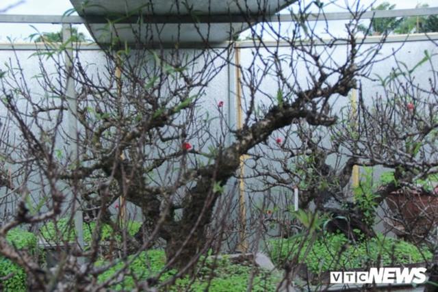 Giá Đào Nhật Tân sẽ tăng dịp Tết Nguyên đán do thời tiết rét muộn - Ảnh 8.