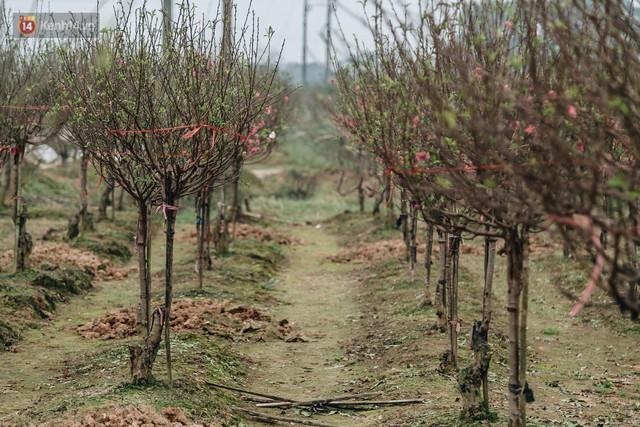 Gần 200 gốc đào của người dân Bắc Ninh bị chặt phá trong đêm: Tết năm nay còn chả có bánh chưng mà ăn - Ảnh 1.
