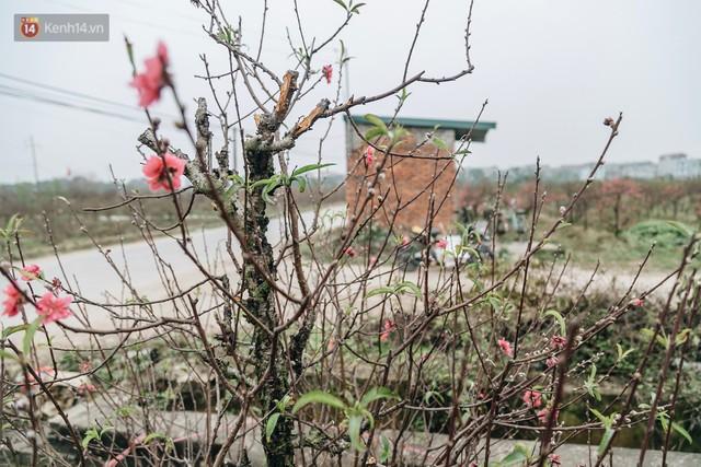 Gần 200 gốc đào của người dân Bắc Ninh bị chặt phá trong đêm: Tết năm nay còn chả có bánh chưng mà ăn - Ảnh 17.