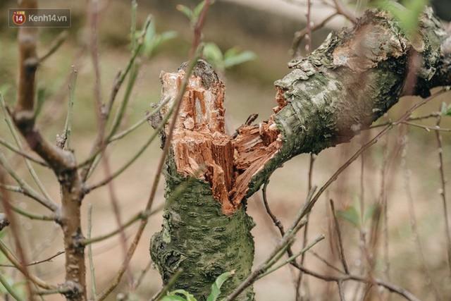 Gần 200 gốc đào của người dân Bắc Ninh bị chặt phá trong đêm: Tết năm nay còn chả có bánh chưng mà ăn - Ảnh 5.