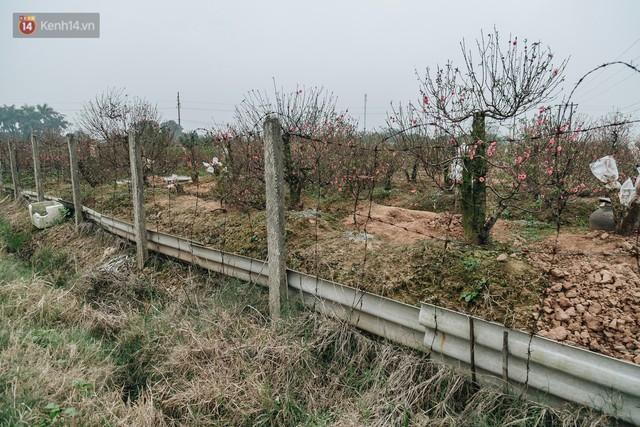 Gần 200 gốc đào của người dân Bắc Ninh bị chặt phá trong đêm: Tết năm nay còn chả có bánh chưng mà ăn - Ảnh 6.