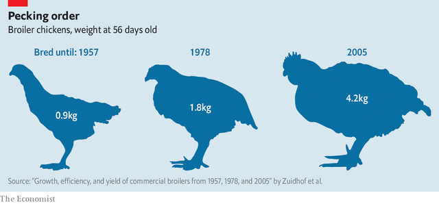 Chiếm 23 trên tổng số 30 tỷ loài vật được nuôi ở 1 vài trang trại, gà đang trở thành ông hoàng ngành chăn nuôi toàn cầu - Ảnh 1.