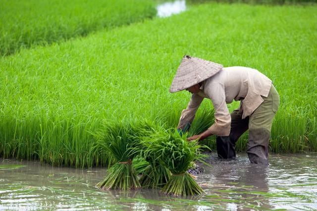 Gạo Việt đua với gạo Thái, Ấn Độ, Campuchia thế nào? - Ảnh 1.