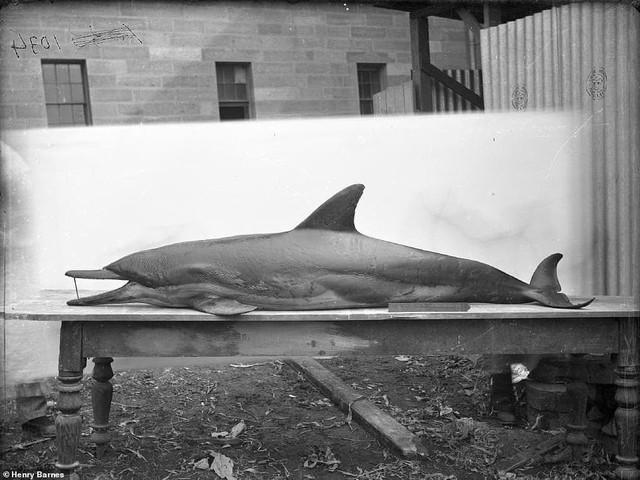 Lần đầu công bố ảnh những sinh vật to lớn kì bí ở Úc hơn 150 năm trước - Ảnh 6.