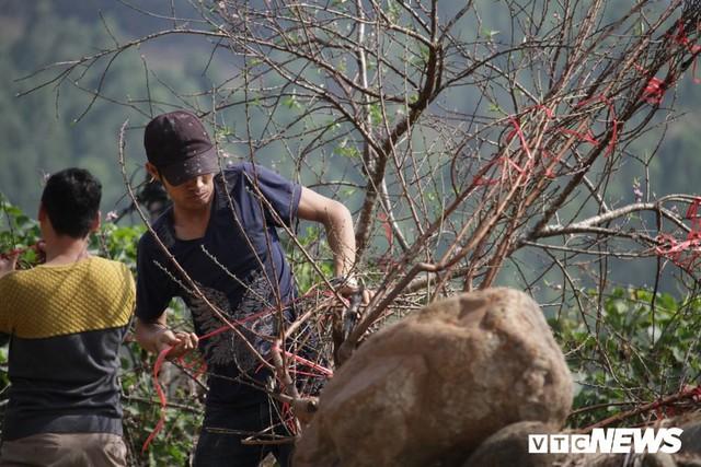 Ảnh: Tận diệt đào rừng phục vụ khách chơi Tết, bày bán la liệt bên quốc lộ - Ảnh 3.