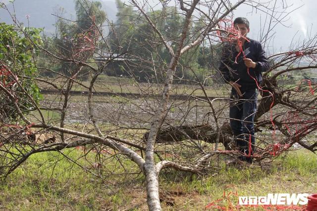 Ảnh: Tận diệt đào rừng phục vụ khách chơi Tết, bày bán la liệt bên quốc lộ - Ảnh 4.