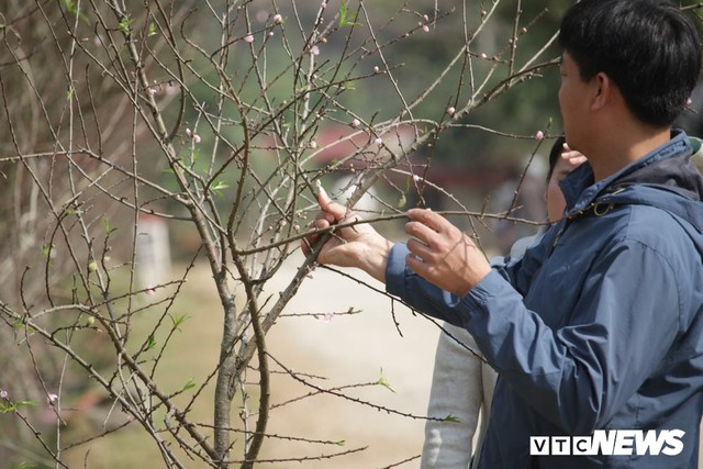 Ảnh: Tận diệt đào rừng phục vụ khách chơi Tết, bày bán la liệt bên quốc lộ - Ảnh 6.