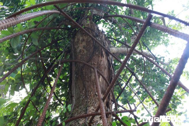 Hôm nay, cây sưa trăm tỷ đồng ở Hà Nội sẽ được chặt hạ - Ảnh 1.