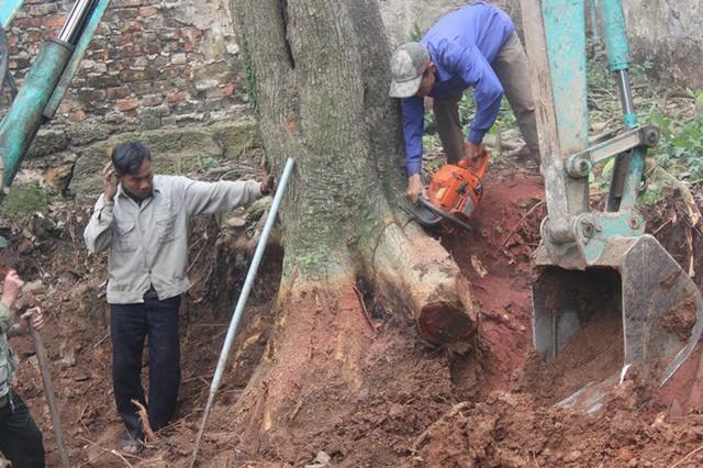 Chặt cây sưa trăm tỷ ở Hà Nội: Chẻ đôi khúc rễ, dân làng mất ngay chục tấn thóc - Ảnh 2.