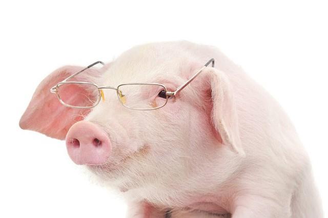 Lợn đã tiến hóa đến mức biết sử dụng công cụ? Video này là bằng chứng đầu tiên cho điều đó - Ảnh 3.