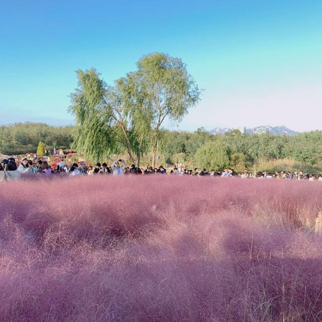 Dân tình check in rần rần đồi cỏ hồng Hàn Quốc, đến khi xem sự thật mới ngỡ ngàng vì đông đến phũ phàng - Ảnh 22.
