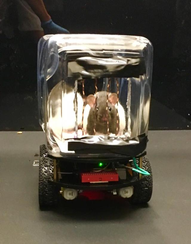 Các nhà khoa học dạy chuột lái ô tô và chúng đã tốt nghiệp xuất sắc thế này đây - Ảnh 2.