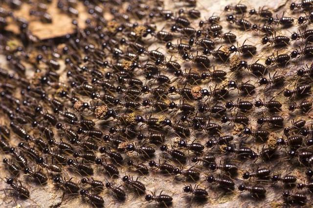 Tại sao kiến rất đông, nhưng cả tổ của chúng không bao giờ bị tắc đường, còn con người thì hơi tí là kẹt mặc dù số lượng ít hơn kiến? - Ảnh 1.