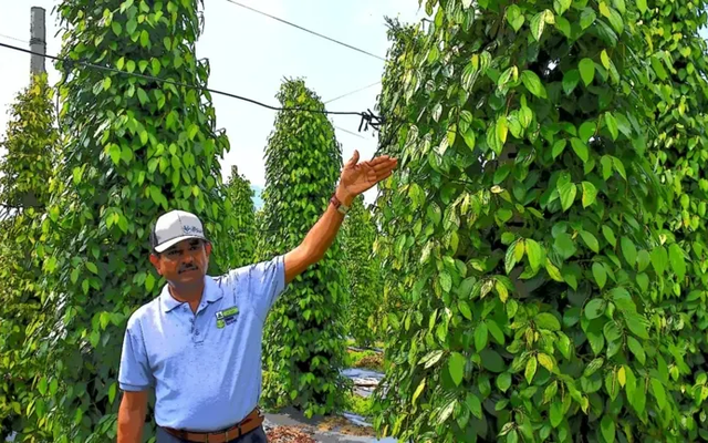 Công ty Singapore đến Việt Nam trồng tiêu, điều và ớt để xuất thẳng sang Trung Quốc: Nông dân Việt khéo léo, hiểu biết, năng suất gấp 7 lần Ấn Độ, Indonesia
