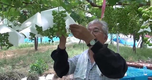 Nho sữa Nhật Bản đắt đỏ được trồng thế nào? - Ảnh 9.