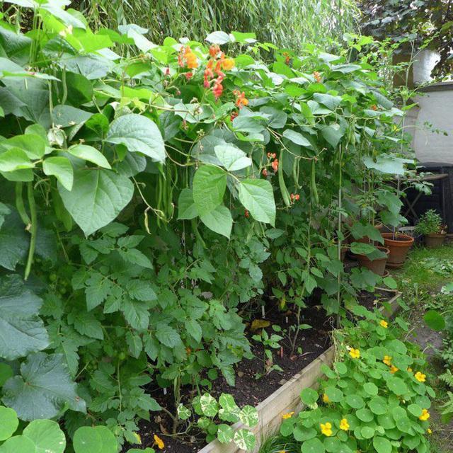 Tận dụng mảnh đất nhỏ phía sau nhà, người đàn ông đảm đang trồng đủ loại rau quả sạch cho cả nhà thưởng thức - Ảnh 10.