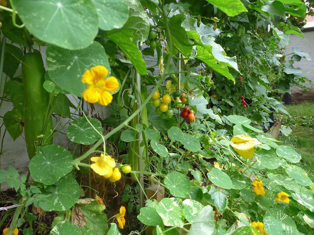 Tận dụng mảnh đất nhỏ phía sau nhà, người đàn ông đảm đang trồng đủ loại rau quả sạch cho cả nhà thưởng thức - Ảnh 20.