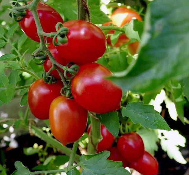 Tận dụng mảnh đất nhỏ phía sau nhà, người đàn ông đảm đang trồng đủ loại rau quả sạch cho cả nhà thưởng thức - Ảnh 6.