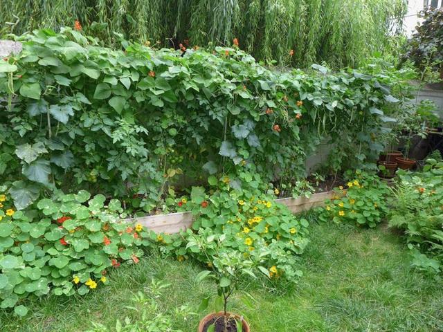 Tận dụng mảnh đất nhỏ phía sau nhà, người đàn ông đảm đang trồng đủ loại rau quả sạch cho cả nhà thưởng thức - Ảnh 9.