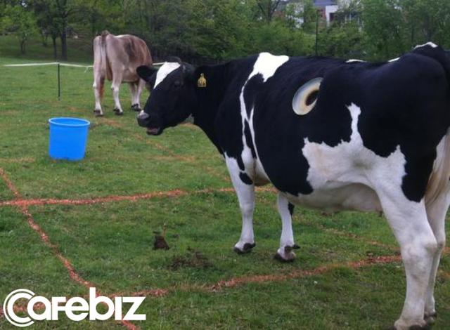 Vì sao nhiều con bò không những không chết mà còn sống khỏe mạnh nhờ bị đục lỗ ngay trên cơ thể? - Ảnh 1.