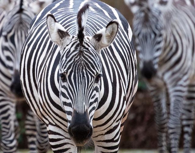 Rốt cuộc thì ngựa vằn có màu gì, là đen sọc trắng hay trắng sọc đen? - Ảnh 1.
