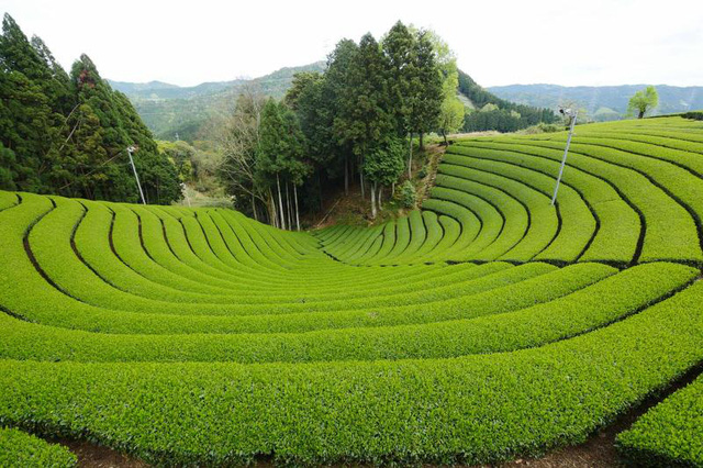 Khám phá nguồn gốc văn hóa Matcha từ Nhật Bản - Ảnh 1.