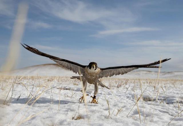 Những chú đại bàng vàng dũng mãnh bên cạnh thợ săn Kazakhstan - Ảnh 10.