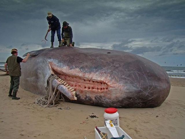 Cá voi nổ! Vũ khí sinh hóa to lớn nhất trên Trái Đất - Ảnh 2.