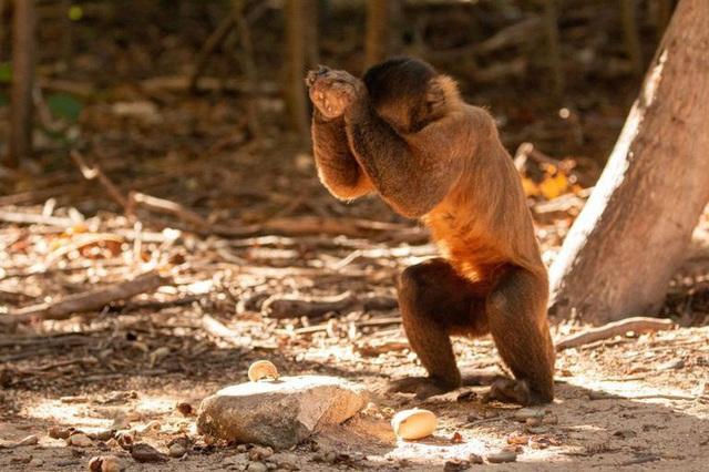 Khỉ Capuchin đã âm thầm bước vào thời kỳ đồ đá, chúng sẽ thay thế con người để thống trị trái đất? - Ảnh 1.
