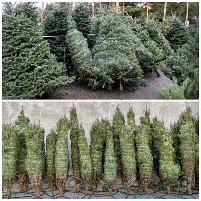 Cây thông tươi giá đến 50 triệu đồng vẫn hút khách mùa Giáng sinh - Ảnh 1.