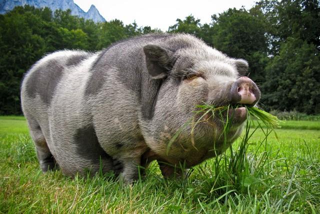 Câu chuyện về War Pig và Pig War và : từ những con lợn quật ngã cả voi, đến nguy cơ gây đại chiến giữa 2 cường quốc - Ảnh 1.