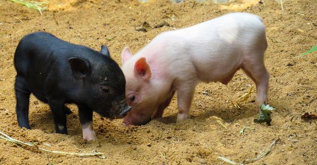 Câu chuyện về War Pig và Pig War và : từ những con lợn quật ngã cả voi, đến nguy cơ gây đại chiến giữa 2 cường quốc - Ảnh 2.