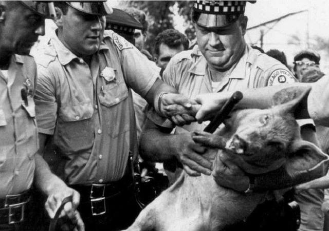 Những chú lợn ghi dấu ấn trong lịch sử - Ảnh 2.