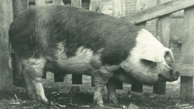 Những chú lợn ghi dấu ấn trong lịch sử - Ảnh 3.