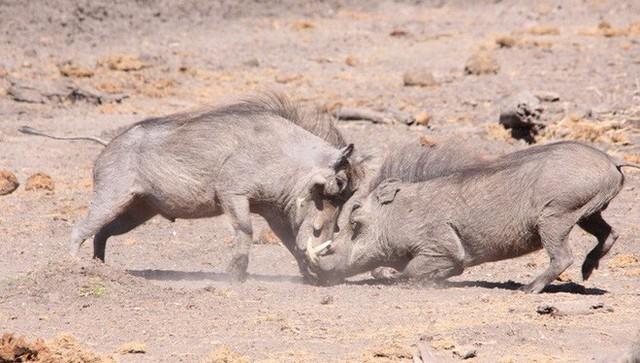 Nhân năm Kỷ Hợi tìm hiểu loài lợn cực thú vị: mang ngà như voi, lại có đến 4 cái - Ảnh 7.