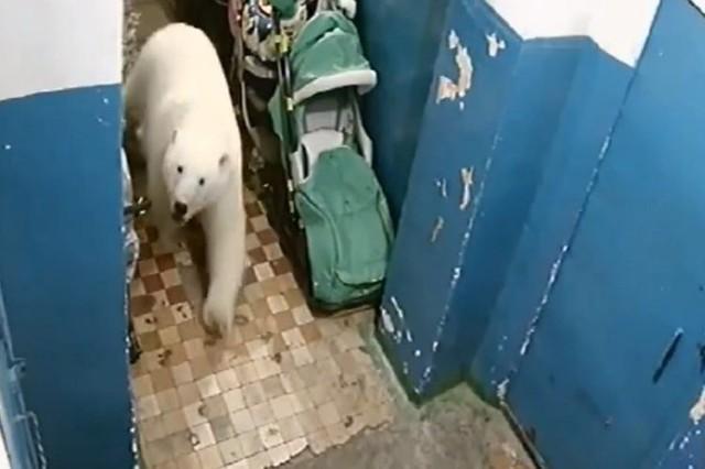 Đàn gấu Bắc cực tụ tập bới rác kiếm ăn - lời cảnh tỉnh đáng sợ tới con người về ô nhiễm môi trường - Ảnh 1.
